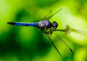 A blue dragonfly flying.