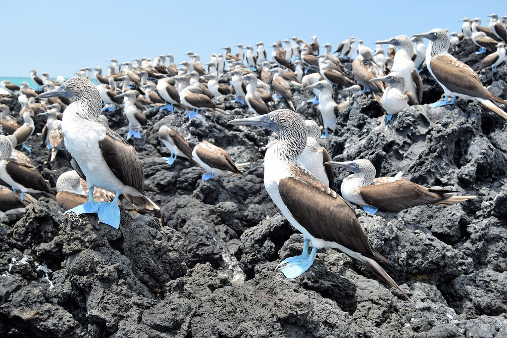 Blue-Footed Booby birds sitting atop rocks.