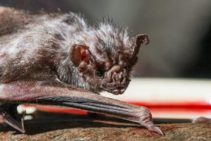 A vampire bat crouching and looking directly into the camera